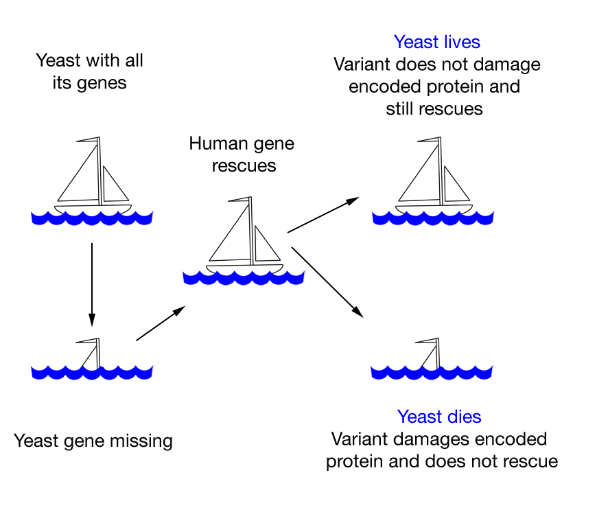 Diagram of ship shows the basic concept of testing human gene variants in yeast